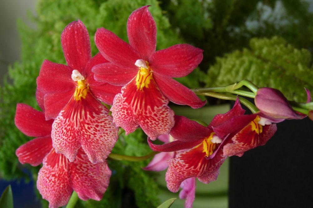 Орхидея Камбрия Буррагеара (Burrageara)