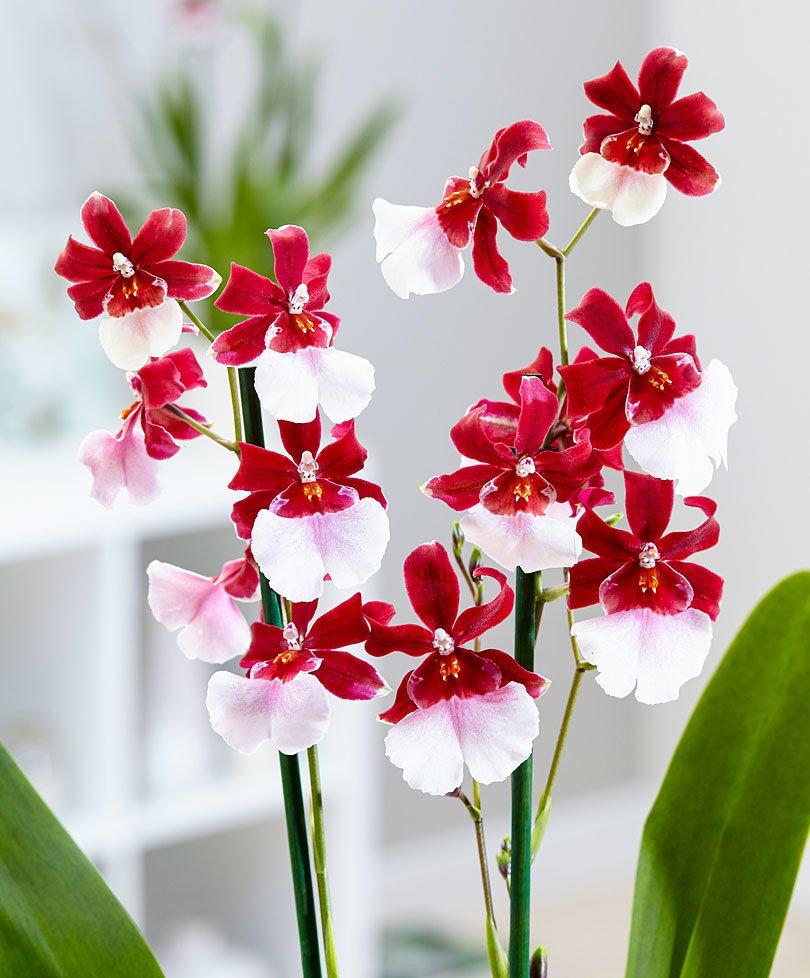 Орхидея Камбрия Мильтонидиум