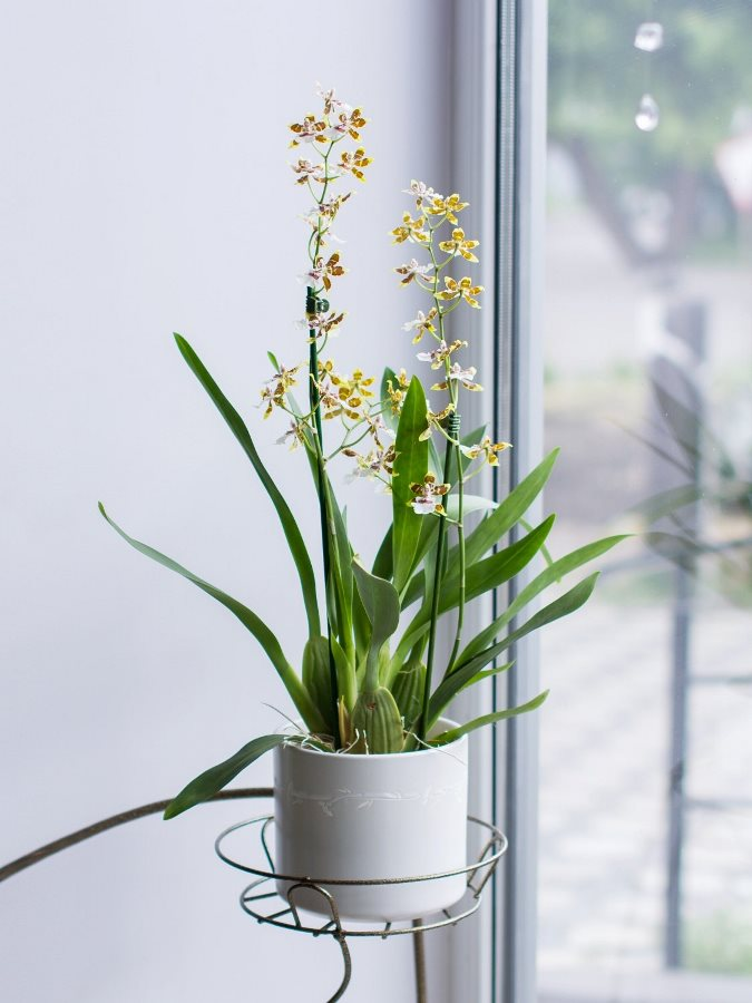 Орхидея Камбрия в горшке