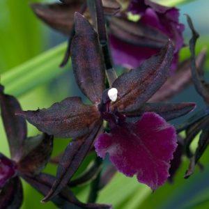 Орхидея Камбрия Коламнара Masai Red Violet