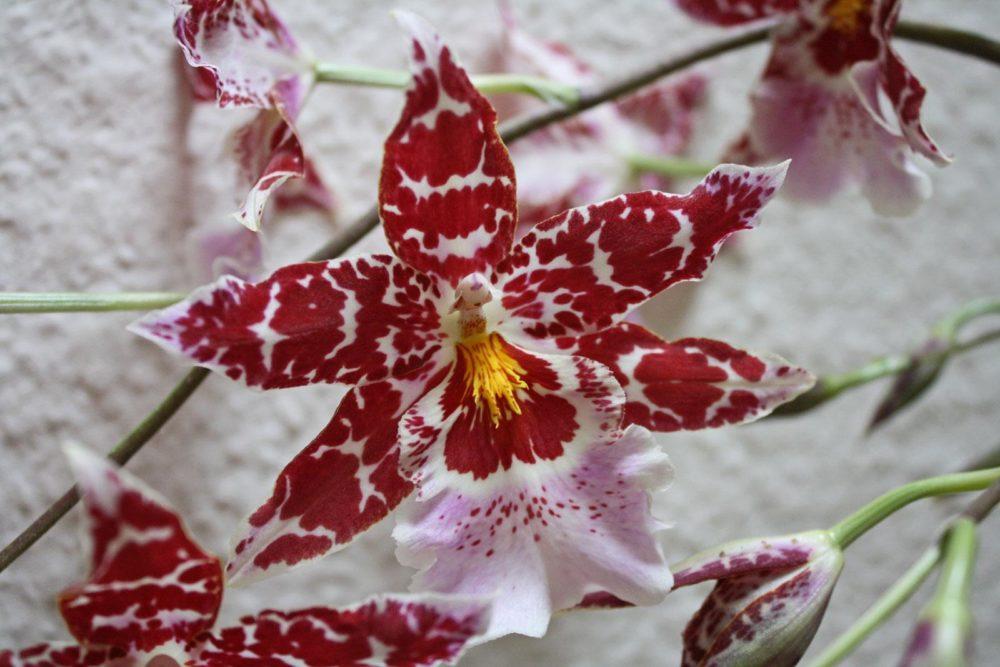 Орхидея камбрия фото цветка