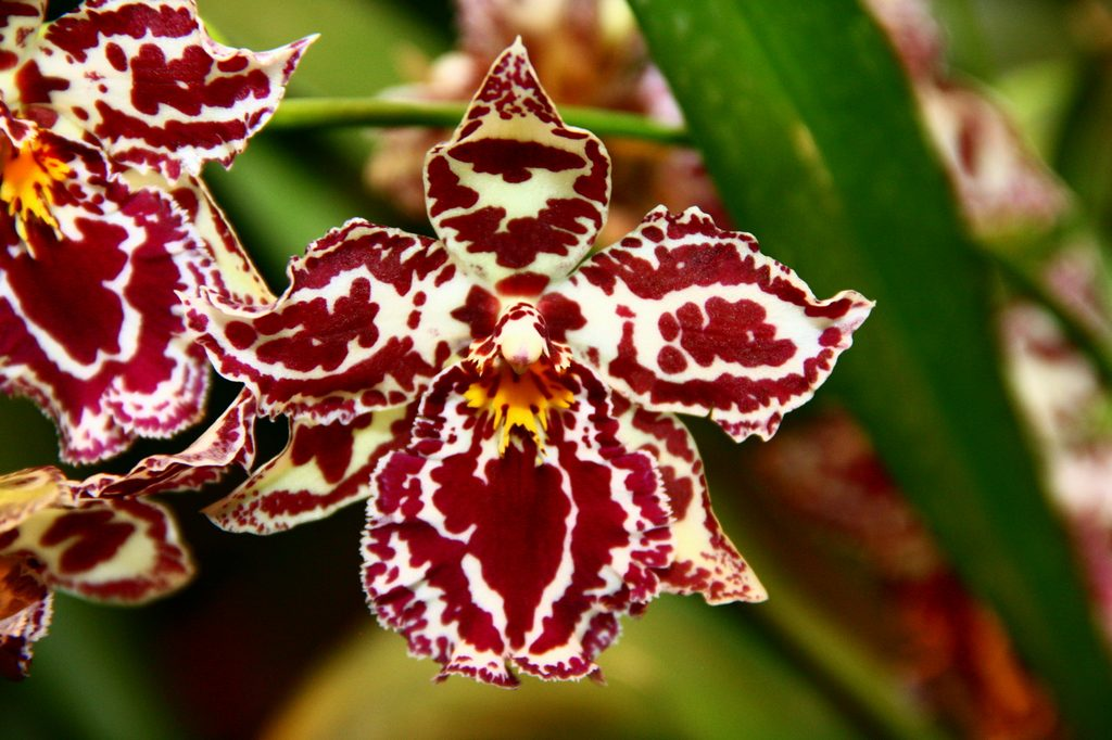 Орхидея Камбрия - фото видов и сортов