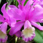 Орхидея Каттлея уход