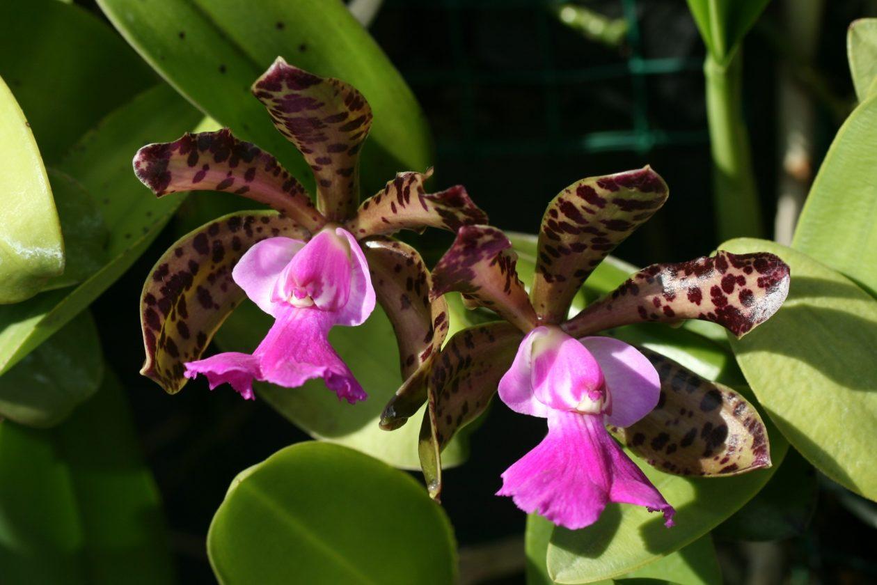 Каттлея Экланда (Cattleya Aclandiae)
