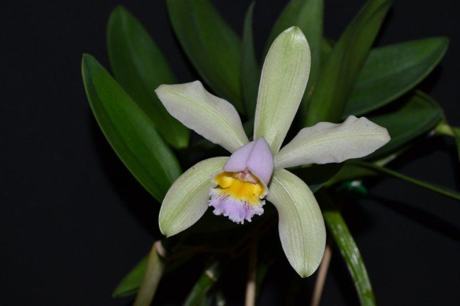 Cattleya Venosa