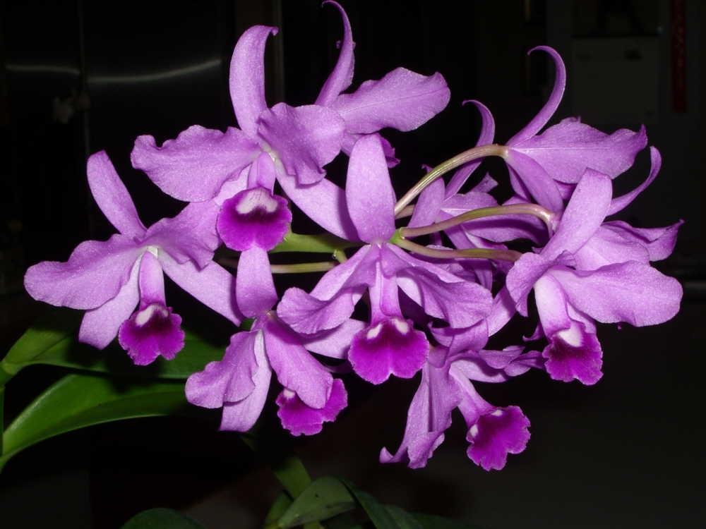 Каттлея Боуринга (Cattleya Bowringiana)