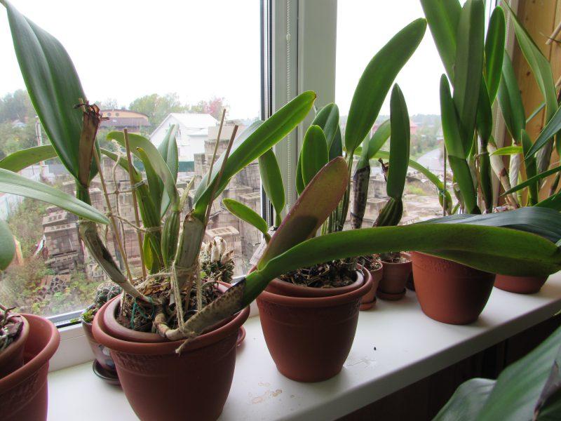Орхидея Каттлея в период покоя