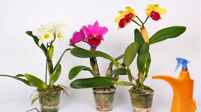 Полив орхидеи каттлея