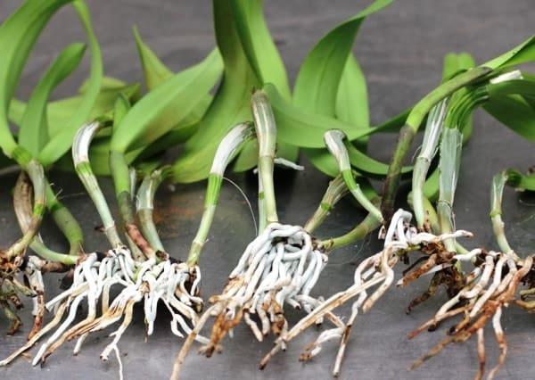 Размножение каттлеи делением корня