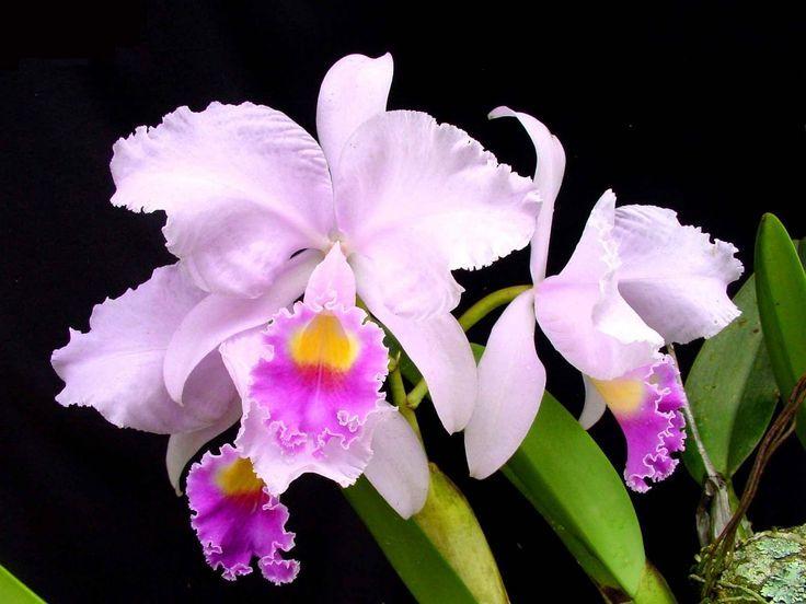 Цветение орхидеи Каттлея