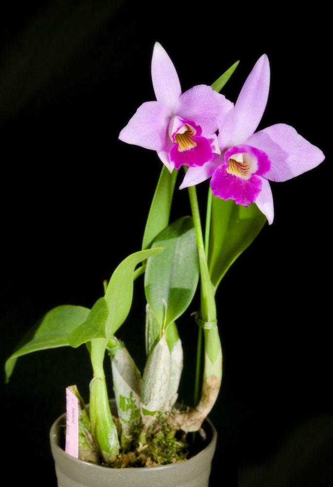 Орхидея Каттлея стебель и внешний вид