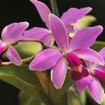 Орхидея Каттлея виды и сорта