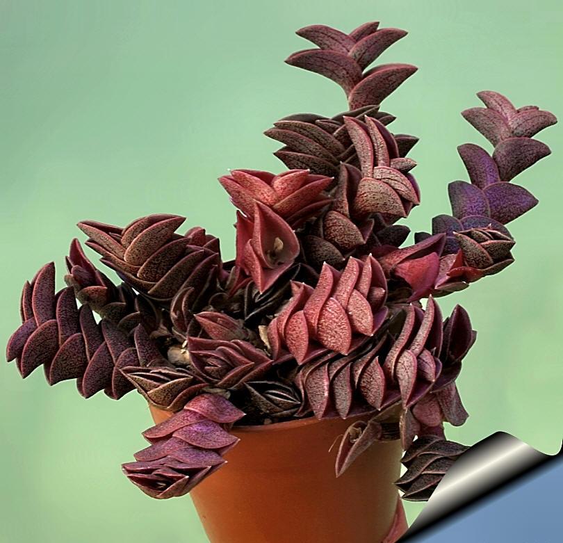 Традесканция Ладьевидная (Tradesantia navicularis)