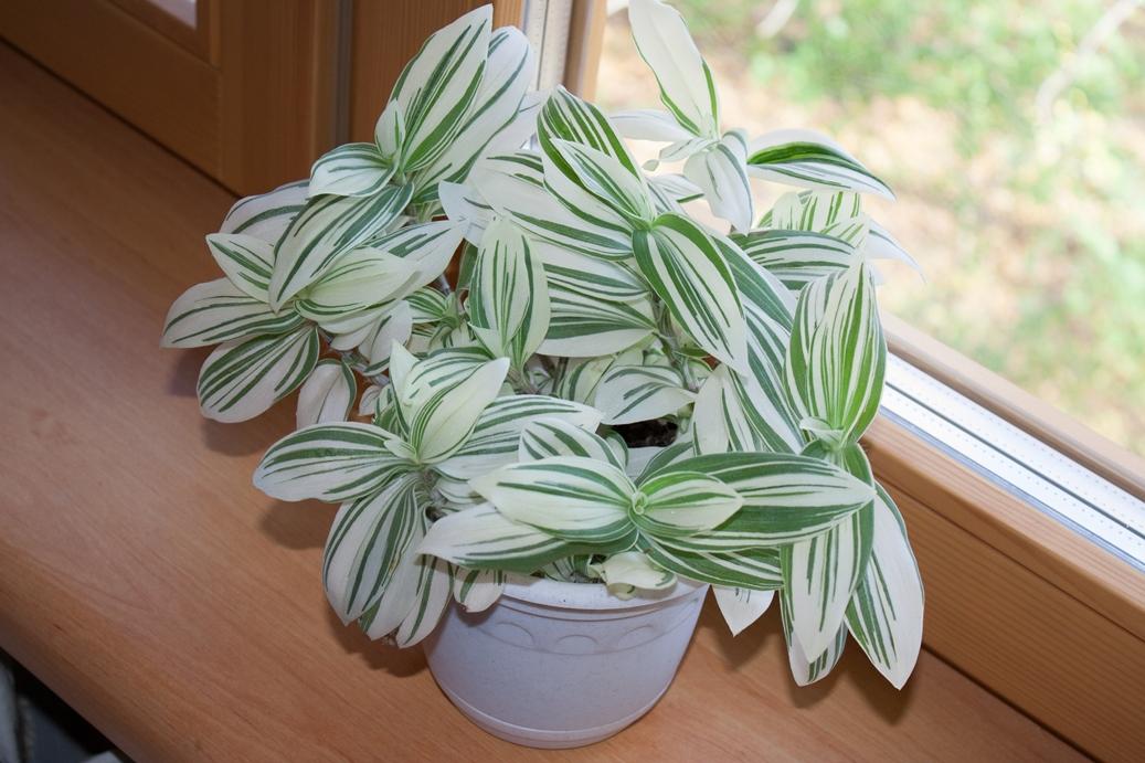 Традесканция Белоцветковая Альбовитата