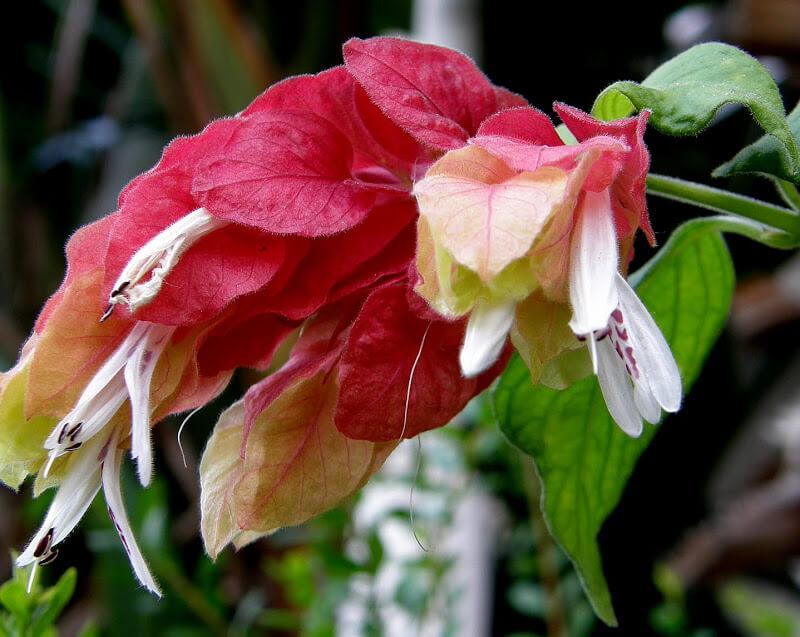 Цветение Белопероне