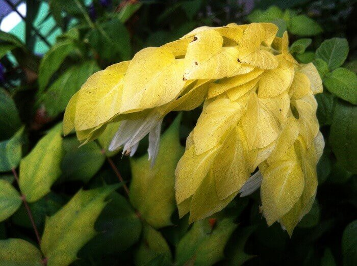 Белопероне Жёлтая королева (Beloperone Yellow Queen)