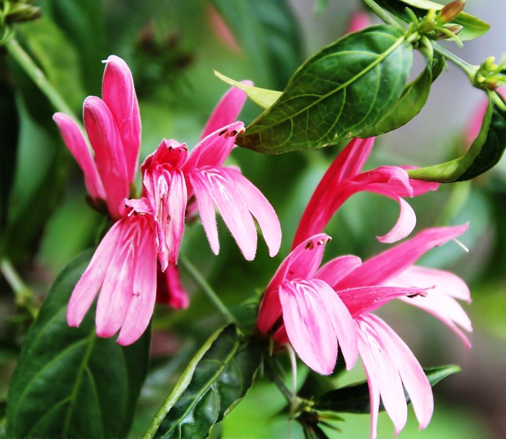 Белопероне Свинчатниколистная (Beloperone Plumbaginifolia)
