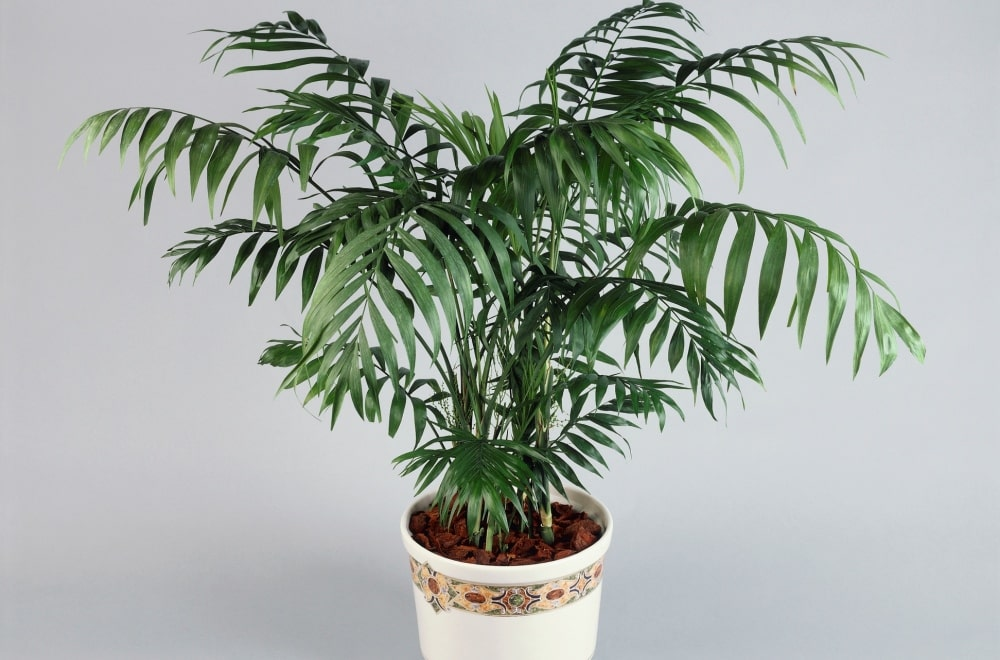 Хамедоерия - бамбуковая пальма