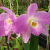 Орхидея Дендробиум Нобиле - Уход и размножение в домашних условиях