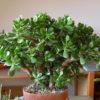 Денежное дерево - уход в домашних условиях